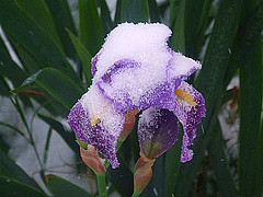 snowy-iris